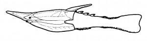 0000_Pteraspididae_0030-min