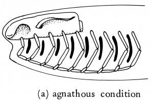 0142_01_Evolution_vertebrate_jaws_agnatha_(modified)